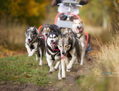 Schlittenhundewagenrennen in Elsholz (bei Beelitz) am 31.10+01.11.2020