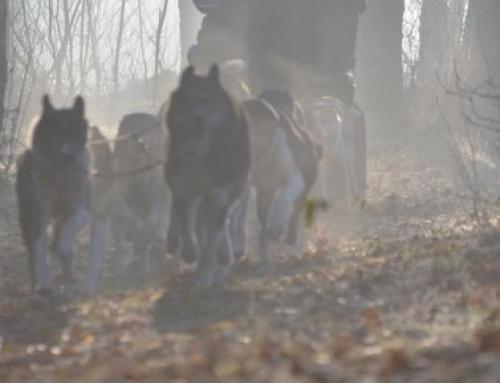 Ausschreibung Dwergter Sand/Landal Park 2018 Schlittenhundewagenrennen